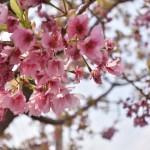 東浦町の於大のみちに咲く八重桜