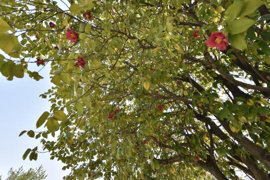 六果園公園の樹木。つばき。