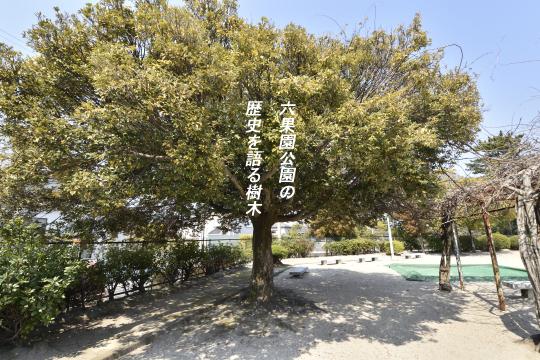 六果園公園の大木。楠。