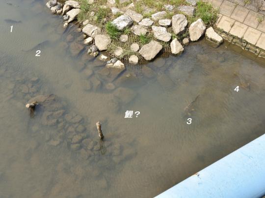 明徳寺川の鯉。