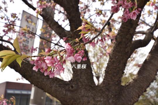 東浦町の八重桜は咲いています。