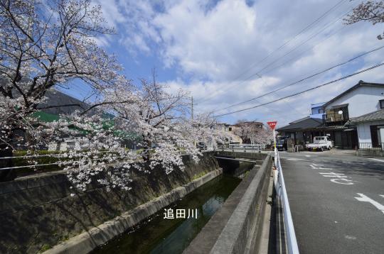 追田川の桜