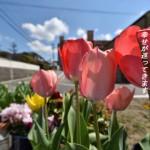 ソシエール谷田の共用スペースに咲くチューリップは赤いです。