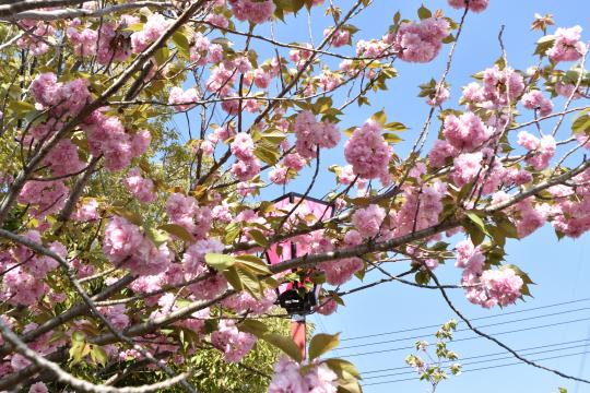 東浦町の八重桜