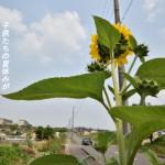 東浦町藤江ふじが丘に咲くひまわり