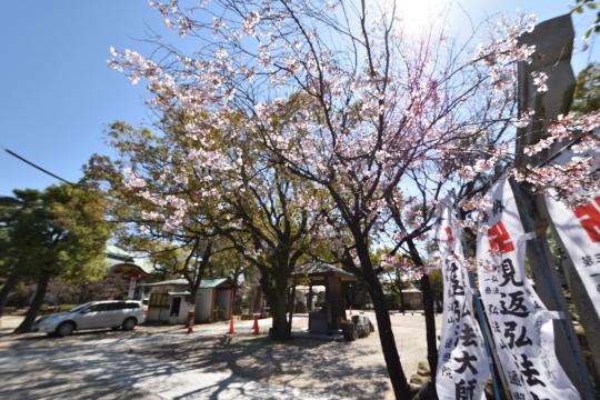 ソシアルセイワ知立弘法近くの弘法さんの桜が咲く